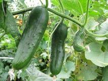 Detail photo of growing gherkin cucumber Stock Image