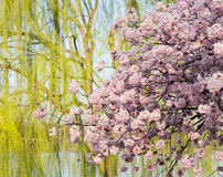 Detail photo of japanese cherry blossom flowers and willow tree Royalty Free Stock Photos