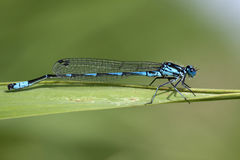 Detail photo of a small dragonfly Royalty Free Stock Images