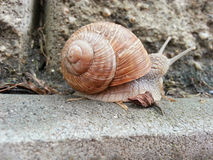 Detail photo of a snail Royalty Free Stock Image