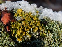 Xanthoria parietina. Detail photo of Xanthoria parietina `Terčovník zední`. Xanthoria parietina is a foliose, or leafy, lichen. It has wide distribution, and Royalty Free Stock Photography