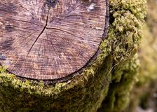 A detail photograph showing mosses and cracks on a felled tree stump stock image