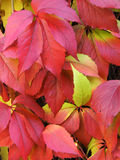 Detail photography of autumn leaves Royalty Free Stock Photos