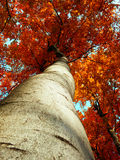 Detail photography of autumnal beech tree Stock Images