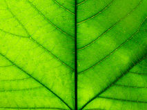 Detail photography of big green leaf Royalty Free Stock Images