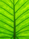Detail photography of big green leaf Stock Photo