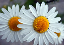Detail photography of chamomile flower Stock Photo