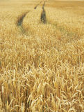 Detail photography of corn field Stock Photos