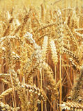 Detail photography of corn field Royalty Free Stock Photography