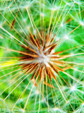 Detail photography of dandelion flower Royalty Free Stock Photography