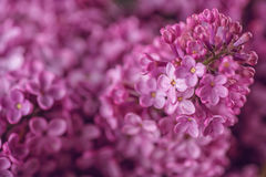 Detail photography of purple lilac, macro, spring blooming plant Stock Images