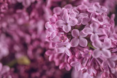 Detail photography of purple lilac, macro, spring blooming plant Stock Photo