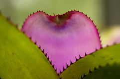 Detail of the Pick leaf of a Bromelia Royalty Free Stock Photography