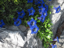 Detail picture of blue flower on the rock Stock Photo