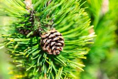 Detail of cone at pine-tree Stock Photos