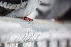 Detail of pigeon feet on a fence full of sleet. And ice Royalty Free Stock Photography