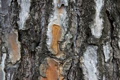 Detail of pine bark Royalty Free Stock Image