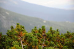Detail of pine in mountain forest. Stock Photography