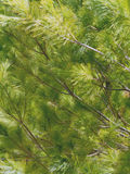 Detail of Pine Tree Branches Stock Photography