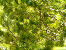 Detail of Pine Tree Branches Stock Photos