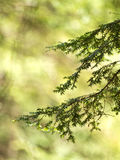 Detail of Pine Tree Branches. Background image with pine tree branches in sunlight Royalty Free Stock Photos