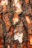 Pine tree trunk Stock Images