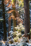 Detail of pine trees during winter Stock Photo
