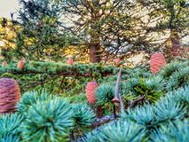 Detail pine. Up to the old pine and see this fruits Royalty Free Stock Image
