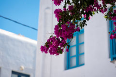 Detail of pink blossoms on a tree standing in Mykonos town Stock Photo