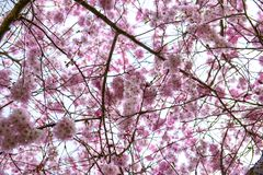 Pink cherry blossoms at spring time in Victoria, BC, Canada Stock Images
