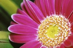 Detail of  Pink Gerbera Royalty Free Stock Photography