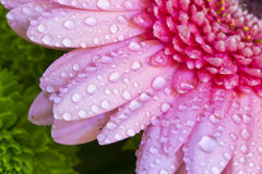 Detail pink gerbera. Detail of the arrangement of pink gerbera bouquet with drops of water Stock Images