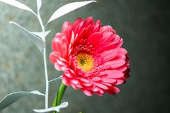 Detail of pink gerbera blossom. Pink blossom placed on blue background, nice spring flower. royalty free stock photo
