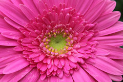Detail of a pink gerbera flower macro Royalty Free Stock Images