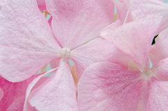 Detail of Pink hortensia, hydrangea flower close up Stock Images