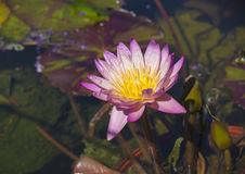Detail of pink lotus flower blossoming in the summer Stock Photography