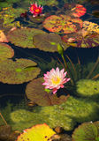 Detail of pink lotus flower in a pond blossoming in the summer Stock Images