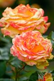 Two Pink and orange rose flowers. Detail of a pink and orange rose flower royalty free stock photography