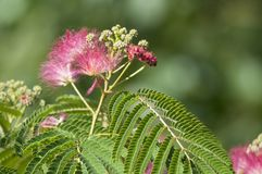 Detail of a pink silk tree Royalty Free Stock Photo