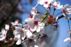 Detail of pink tree flowers in bloom Stock Photography