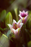 Detail of pink and white oriental lilies in sunlight. Stock Images