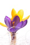 Detail of pistil of violet crocus next to yellow one stock photos