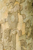 Detail of Plane tree Stock Photography