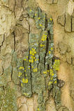 Detail of Plane tree Stock Images