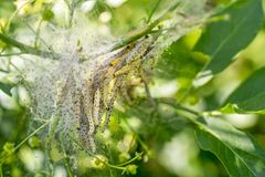 Ermine moth caterpillars and web. Detail of a plant covered with ermine moth web with caterpillars at spring time royalty free stock image