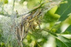 Ermine moth caterpillars and web. Detail of a plant covered with ermine moth web with caterpillars at spring time stock images