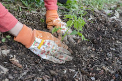 Detail of planting a tomato seedling Stock Photography