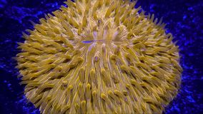 Plate fungia coral. A detail of a plate Fungia coral underwater in the sea stock footage