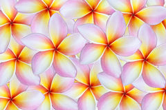 Plumeria flower background Royalty Free Stock Images