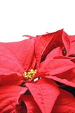 Detail of poinsettia flower Royalty Free Stock Photos